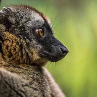 Brauner Lemur-05060.jpg