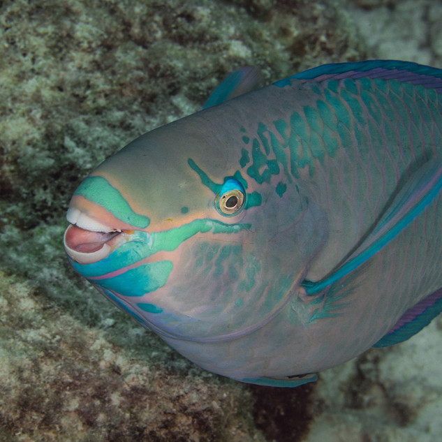 Papageienfisch-