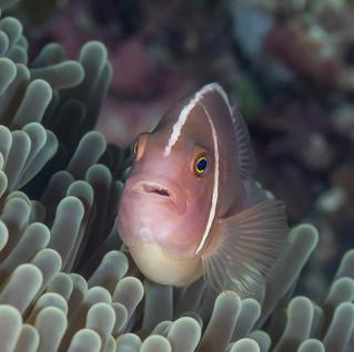 Anemonenfisch C260057 -2.jpg