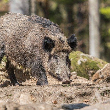 Wildschwein mit Jungem