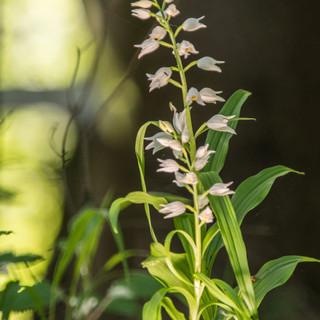Orchidee  Waldvögelei