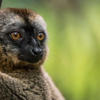 Brauner Lemur-05061.jpg