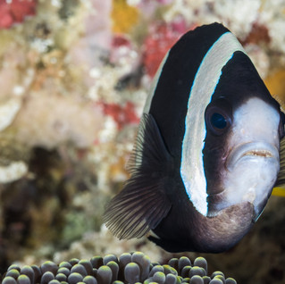 Anemonenfisch C160201-2.jpg