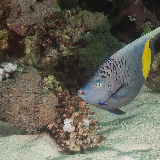 Sichel-Kaiserfisch