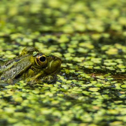 Frosch in der Entengrütze