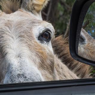 Esel auf Besuch bein Auto