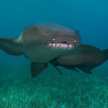 Ammenhai  Eines meiner Lieblingsbilder