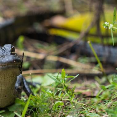 Alligator-Kind
