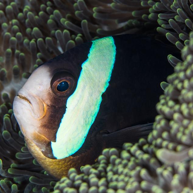 Anemonenfisch C240038 -2.jpg