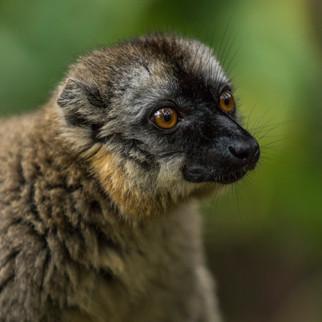 Brauner Lemur-05069.jpg
