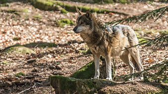 Wolf-07097.jpg