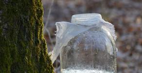La sève de bouleau fraîche : la cure detox à la sortie de l'hiver