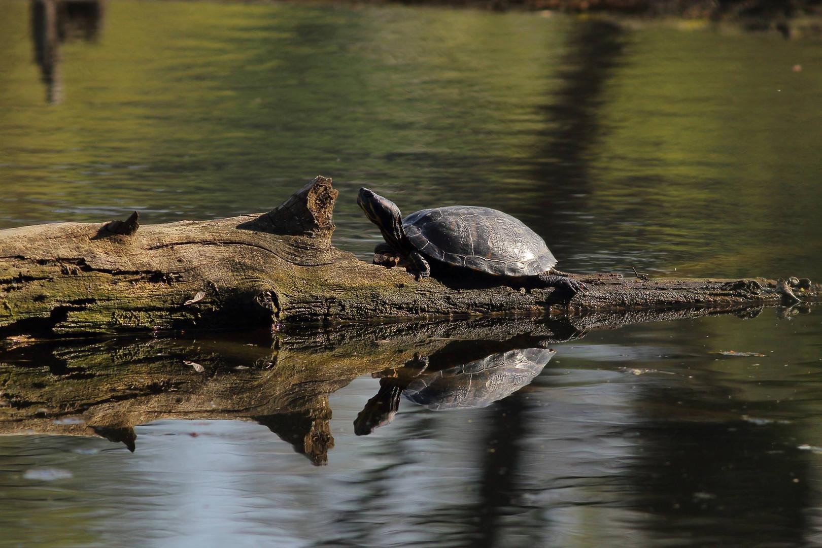 Болотяна черепаха на Совських ставках