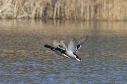 ducks_flying.jpg