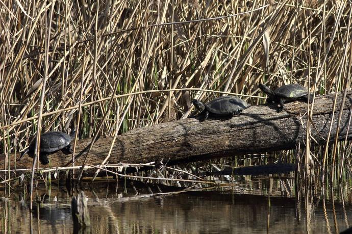 Черепаха болотяна на Совських ставках