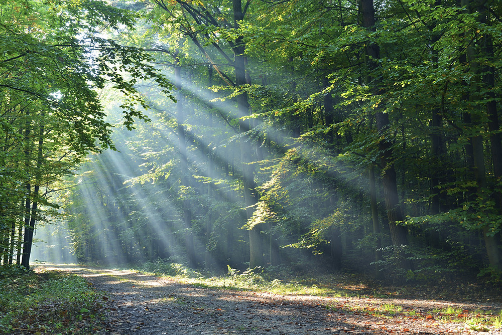 Sunlight shafting through trees on forest path