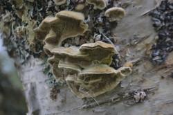 birch fungi.JPG