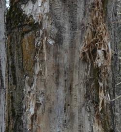shredding bark.jpg