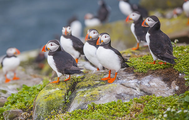 Puffins at the Farne Islands in Northumb
