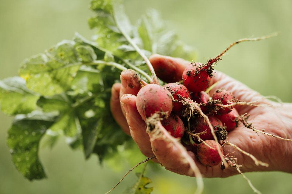 close-up-hand-holding-fresh-radishes.jpg