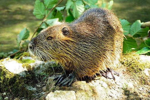 beaver-862600_1920 Pixabay.jpg