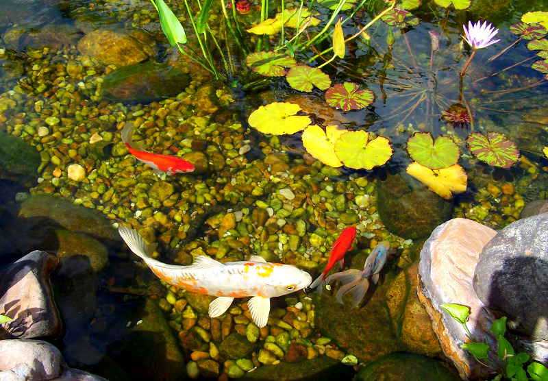 Koi in 4ft deep pond