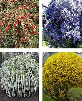 оптовая розничная продажа декоративного кустарника для сада