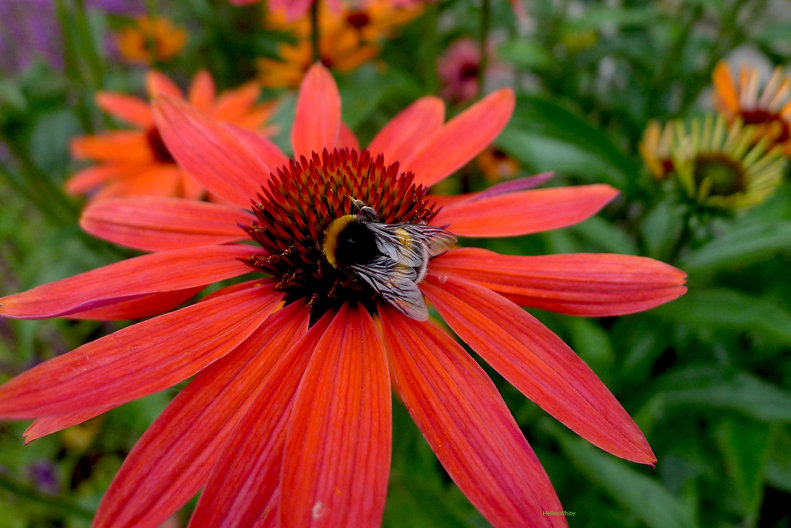 landscape bee flowers.jpg