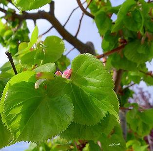 продажа крупномеров хвойных лиственных плодовых