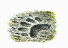 Badger footprint 1.jpg