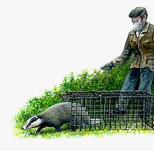 Badger release 1.jpg