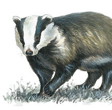 Badger 1.jpg