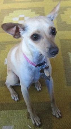 Trixie a Chihuahua