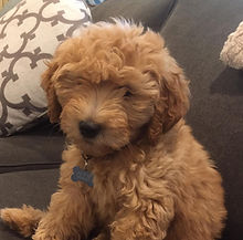 Ollie, the Double Doodle