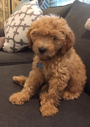 Ollie the double doodle