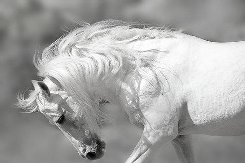 White stallion canvas