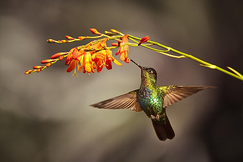 Hummingbird tree Tempered glass