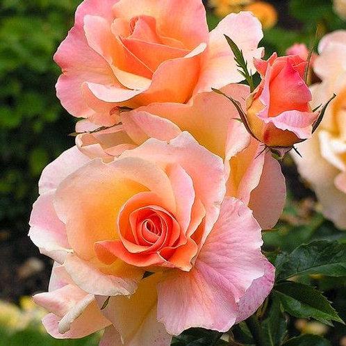 apricot rosé