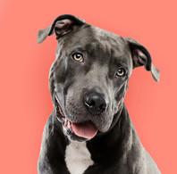 Pitbull Portrait