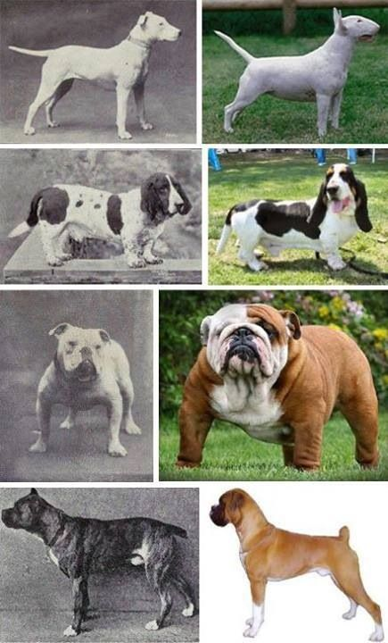 Problems Caused by Selective Breeding