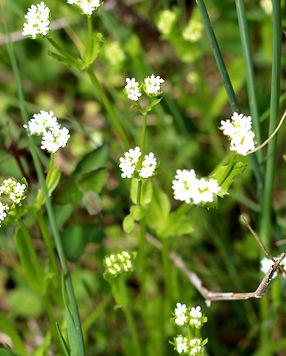 Culleoka Tennessee wildflowers