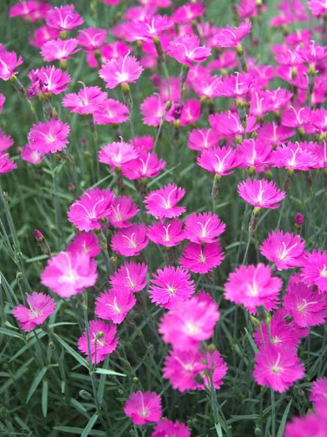 Dianthus Fire Witch