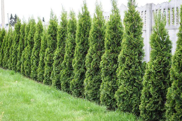 Arborvitae Emerald Green