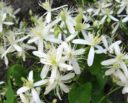 Clematis terniflora