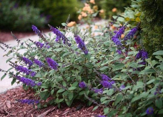 Butterfly Bush Blue Chip