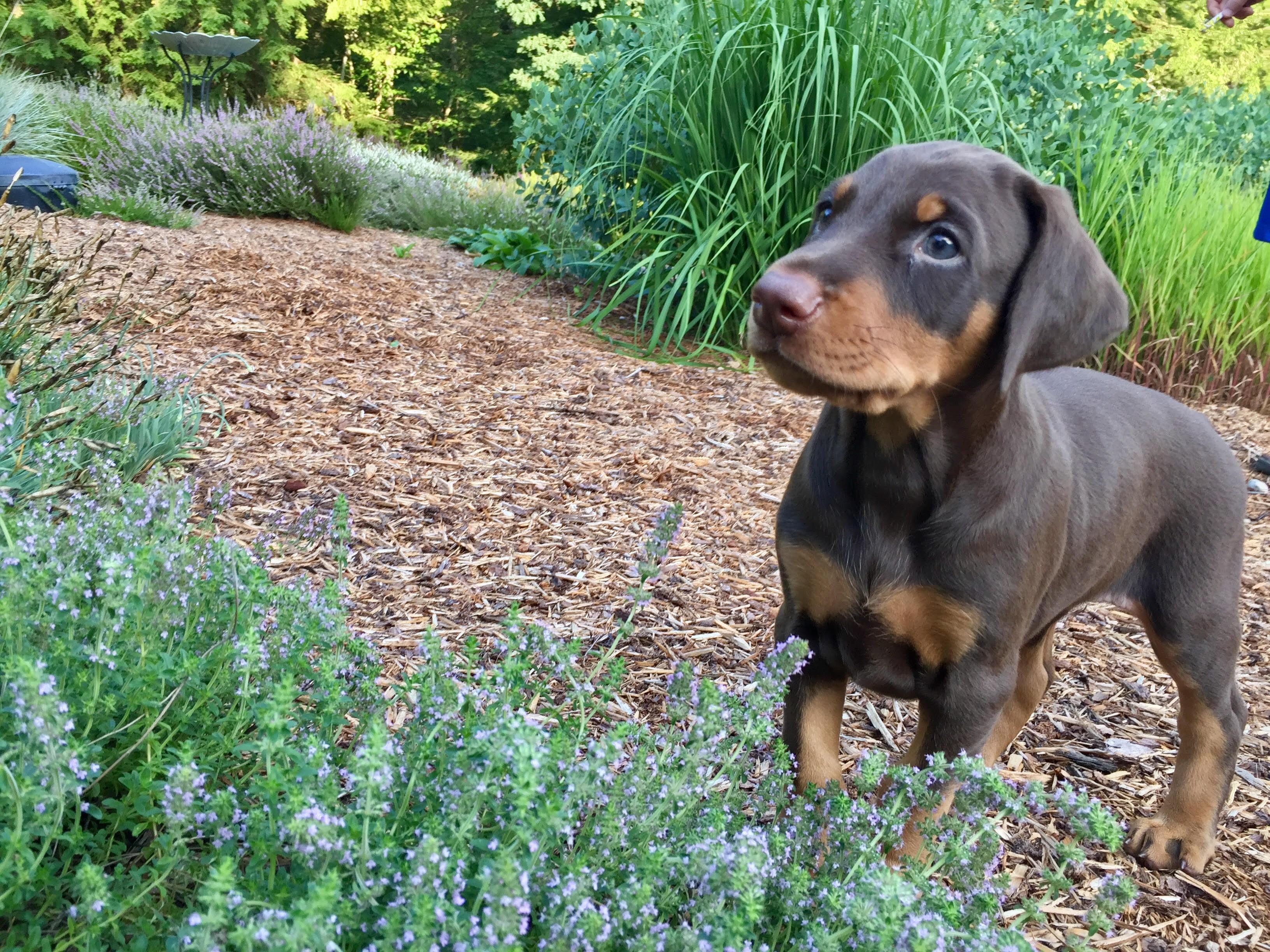 Amber pup