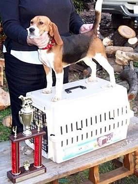 Joe Pup SPO hunt trial