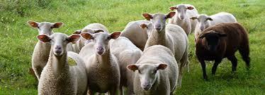 Le mouton noir de la famille ou autre version le vilain petit canard