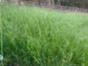 weeping grass 2.jpg