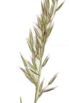 Wallaby Grass Seed Head_edited.jpg